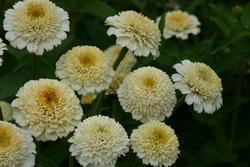 Zinnia Zinderella White 100 seeds