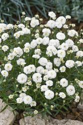 Achillea ptarmica Pearl Reselected 0,25g - 1