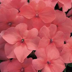 Impatiens w. Accent Salmon Pink  F1 250 seeds