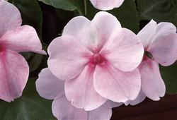 Impatiens w. Accent Pink  F1 250 seeds