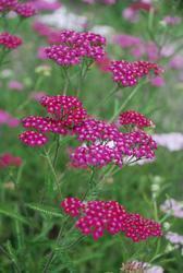 Achillea millefolium Cerise Queen 0,25g - 1