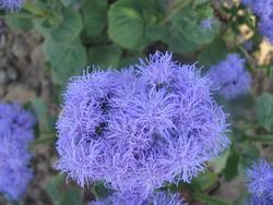 Ageratum houstonianum Blue (Capri) 1g - 1