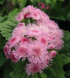 Ageratum houstonianum Pink 1g - 1