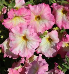 Petunia hybrida Alenka F1 1/16g