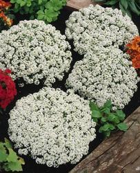 Lobularia m.Snow Crystal 1g