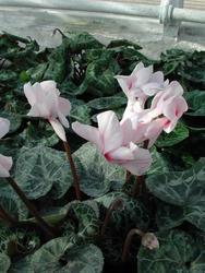 Cyclamen p. polypetallum Amor 50s