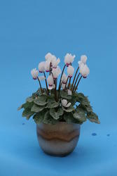 Cyclamen persicum mini Anneli 100 seeds