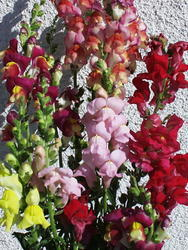 Antirrhinum majus High mixture 2g