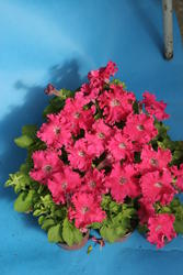 Petunia h. Aphrodite růžová F1 500 pelet