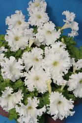 Petunia h. Aphrodite bílá F1 500 pelet