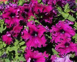 Petunia h. Aphrodite purpurová F1 500 pelet - 1