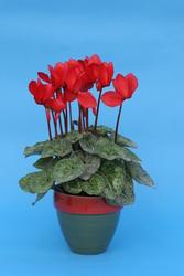 Cyclamen persicum Šarlatově červený 100s - 1