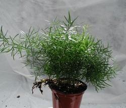 Asparagus densiflorus Sprengeri 4g
