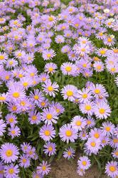 Aster alpinus Light Blue 1g - 1