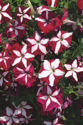 Petunia pendula Lavina purpurová hvězda F1 300s - 1