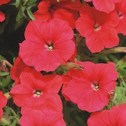 Petunia pendula Lavina červená  F1 50s