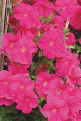 Petunia pendula Lavina růžová F1 50s