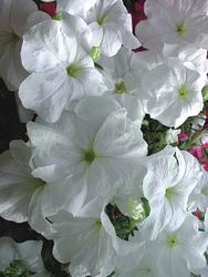 Petunia pendula Lavina bílá F1 50s