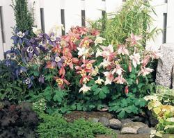 Aquilegia caerulea Spring Magic Mix 0,5g - 1
