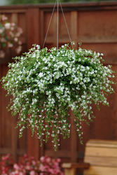Bacopa Snowtopia 100 multipelet