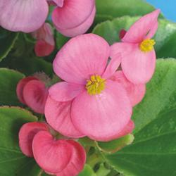 Begonia semp. Boušín F1 0,25g