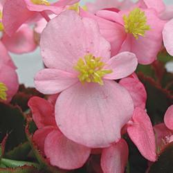 Begonia semp. Variace sv. růžová F1 1/16g
