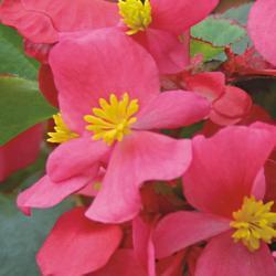 Begonia semp. Variace Deep Pink F1 1/16g