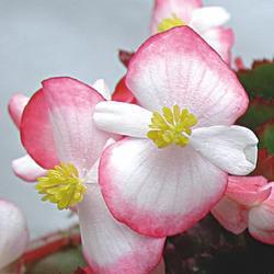 Begonia semp. Variace Pink & White F1 1/16g