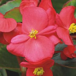 Begonia semp. Variace šarl.červená F1 1/16g