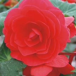 Begonia tuberhybrida Deep Rose 1/16g