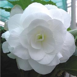 Begonia tuberhybrida Bílá 0,25g