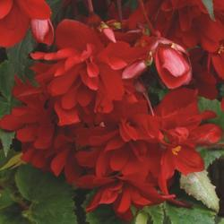 Begonia t. pendula Chanson Deep Red F1 1/16g