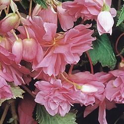 Begonia t. pendula Chanson růžová F1 1/16g