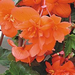 Begonia t. pendula Chanson lososová F1 50 pelet