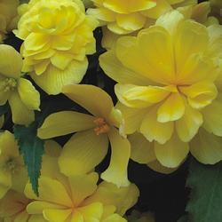 Begonia t. pendula Chanson žlutá F1 1/16g