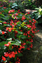 Begonia semp. Dragon Wing Red F1 250 pelet