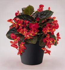 Begonia x b. Big® Red Green Leaf F1 200 pelet