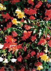 Begonia t. pendula Chanson Mix F1 50 pellets