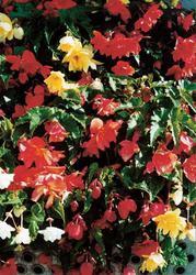 Begonia t. pendula Chanson směs F1 1/16g - 1