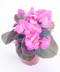 Begonia semp. Nightlife Deep Rose F1 1000 pelet - 1