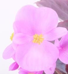 Begonia semp. Nightlife Pink F1 1000 pelet - 1