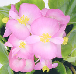 Begonia semp. Sprint Blush Improve F1 1000 pellets - 1
