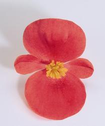 Begonia semp. Sprint Scarlet F1 1000 pelet - 1