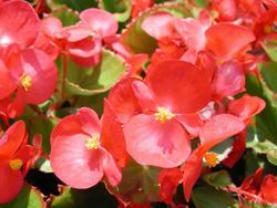 Begonia semp. Tango červená F1 2000s - 1