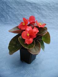 Begonia semp. Broumov F1 1/16g - 1