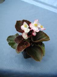 Begonia semp. Náchod F1 0,25g - 1