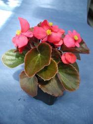 Begonia semp. Oreb F1 1/16g - 1