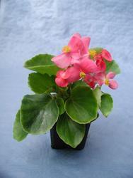 Begonia semp. Padolí F1 0,25g - 1