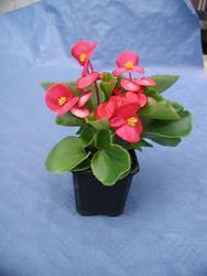 Begonia semp. Podkrkonoší F1 0,25g - 1
