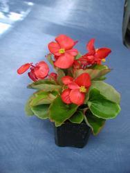 Begonia semp. Skalka F1 0,25g - 1